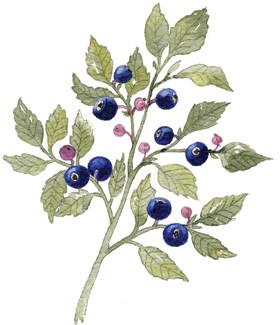 Blåbær aroma til slik (bolsjer, vingummi, flødeboller, skumfiduser m.m.)